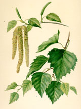 Catkins and Leaves of the Birch