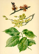 Flowers, Fruit, and Leaves of the Elm