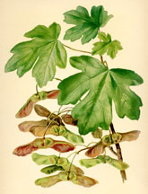 Field Maple, Foliage and Fruit
