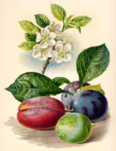 Flowers and Fruit of the Plum