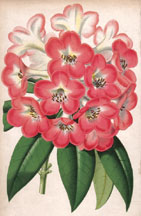 Rhododendron Princess of Wales