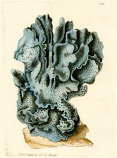 Indian Coral (Blue Millepore)
