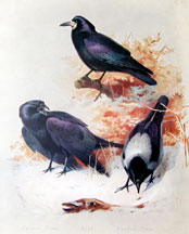 Plate 21, Crows