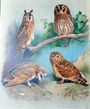 Plate 26, Owls