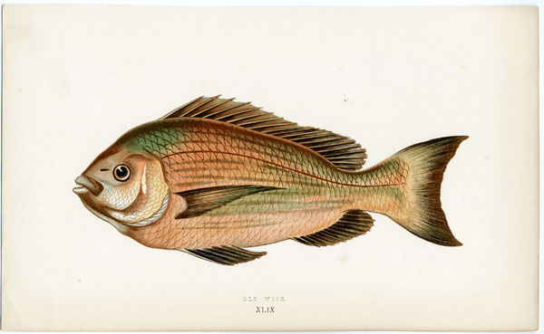 Jonathan couch a history of fishes of the british islands for Old wife fish