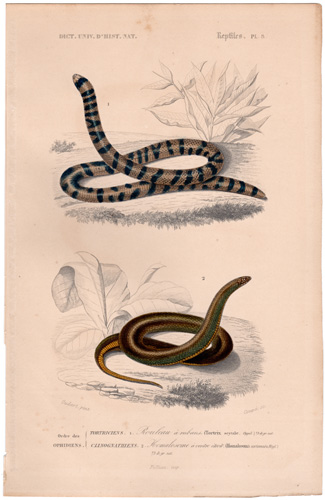 Coral Cyclinder Snake Narrow-bellied Homosolome