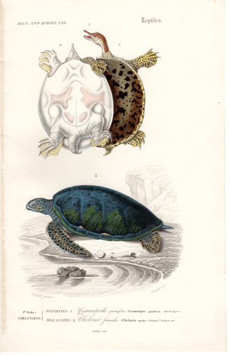 Spiny Softshell Turtle, Green Turtle