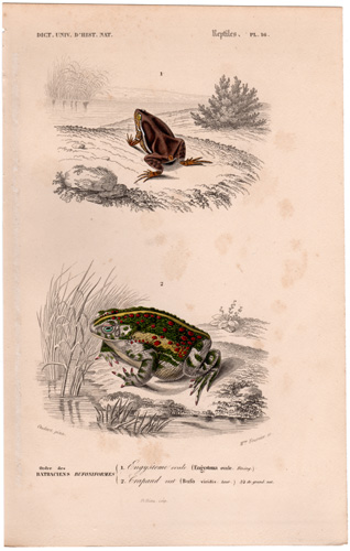 Toad, European Green Toad