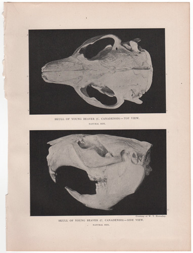 Skull of young beaver