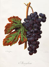 Margilien grape variety