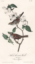 White-throated Finch and Dogwood