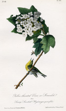 Yellow-throated Vireo or Greenlet