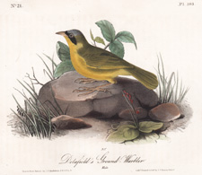 Delafield's  Ground Warbler  Plate 103