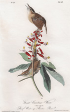 Great Carolina Wren