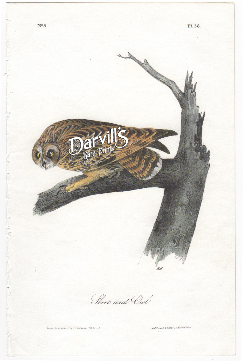 Short-eared Owl Plate 38 first edition