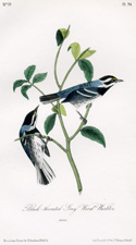Black-throated Grey Wood Warbler