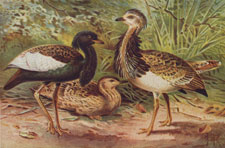 FLORICAN AND MACQUEEN'S BUSTARD