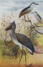 NIGHT-HERONS AND WHALE-HEADED STORK