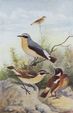 WHEATEAR, STONECHAT, AND WHINCHAT
