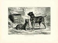 Old-fashioned English Terriers