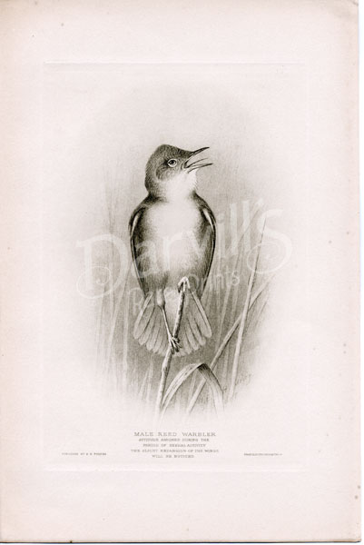 1914 British Warblers Print Male Dartford Warbler ~ GrÖnvold Special Summer Sale Art Prints