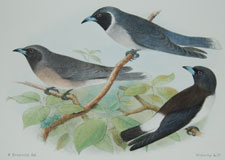 Masked and White-rumped Wood Swallows