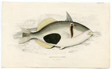 Plate 20 Port Pranlin Balistes (New Ireland)