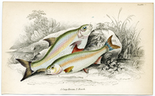 Cape Bream, Roach