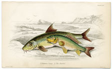 The common carp and The Barbel