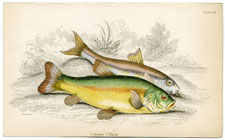 Plate 25 Gudgon and Tench