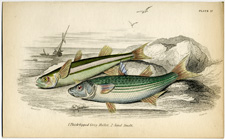 Thick-lipped Grey Mullet, Sand Smelt