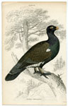 Tetrao Urogallus The Wood Grouse