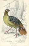 Sanguine Partridge