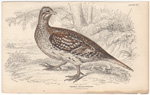 The Sharp-tailed Grouse