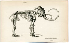 Fossil Elephant of Siberia