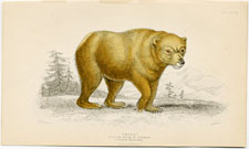 The Yellow Bear of Norway