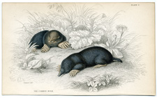 The Common Mole