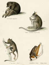 Plate 3, Ring-tailed Monkey, etc.