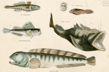 Goby, Angler, etc.