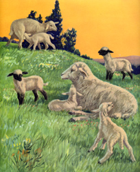 The sheep and lambs are in the meadow