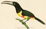 The Red-banded Toucan