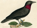 The Purple-throated Fly-catcher