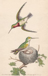 The Red-throated Hummingbird
