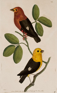 Plate 249  Red-shouldered Tanager