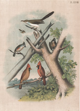 The Yellow-billed Cuckoo, The Crested Titmouse, The Cardinal Grosbeak