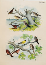 Sharp-tailed Finch, Canadian or Tree Sparrow, Yellow-winged Sparrow, Lark Finch, Swamp Sparrow, Chipping Sparrow, American Goldfinch