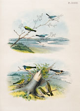 Blue-gray Gnatcatcher, Black-throated Green Warbler, Blue Warbler, Mourning Warbler, Bay-breasted Warbler, Prairie Warbler, Golden-crowned Thrush or Oven-bird