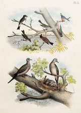 The Olive-sided Flycatcher, Red-bellied Nuthatch, Wood Pewee, Traill's Flycatcher, Pewit Flycatcher, The Mourning or Car