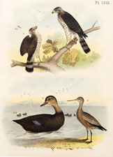 Pigeon hawk, buzzard, black duck