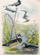 Wood Duck, or Summer Duck; Short-tailed Tern; Black Tern